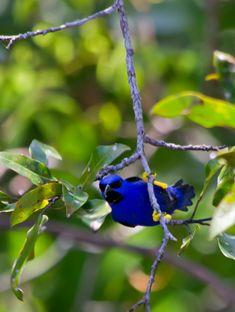 Foto saí-de-perna-amarela (Cyanerpes caeruleus) por Marcelo Camacho   Wiki Aves - A Enciclopédia das Aves do Brasil