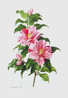 Paul Jones (that's the name of the camellia) Tricolor Camellia japonica - this is a beautiful scan of this print. Best one I've ever seen.