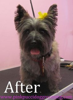 dog haircut styles cairn - Google Search