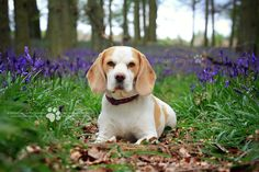 https://flic.kr/p/s65V5i | Hertfordshire Pet Photography | The Beagles at Bluebell Woods | Dockey Wood at National Trust Ashridge Estate  The Ashridge Estate is a huge woodland in the Chiltern Hills owned by the National Trust with over 2,000 acres of atmospheric woodland.  Ashridge is famous for its spring display of bluebells, which cover large areas of the forest floor, and is amongst the finest in the UK. The most impressive display of bluebells is in the small area of Dockey Wood.  <a…
