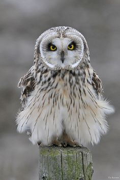 Short-eared Owl by Toi Korsten Baby Owls, Baby Animals, Cute Animals, Nature Animals, Beautiful Owl, Animals Beautiful, Simply Beautiful, Owl Pictures, Nails Pictures