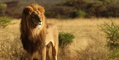 Lion is often called as king of forest and is very famous among human beings. Their average age is about years and also lion is being the second largest Lion Hd Wallpaper, Tier Wallpaper, Animal Wallpaper, Lion Noir, 2560x1440 Wallpaper, South Africa Safari, Lions Photos, Elephants Photos, Animals Photos