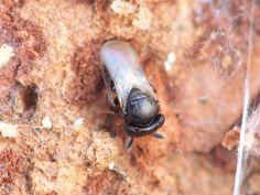 sora. Telenomini, Trissolcus sp. ♀