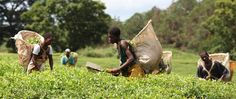 Tea picking in Malawi. Credit: Abbie Trayler-Smith