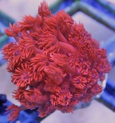 ORA Aquacultured Red with Purple Mouth Goniopora Coral
