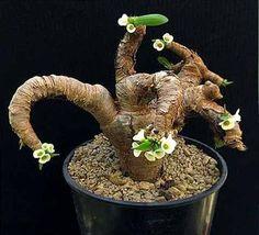 Euphorbia itremensisin