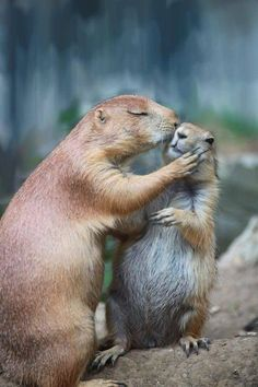 """Prairie dog kisses """"OK honey, have a nice day at school. Animals And Pets, Baby Animals, Funny Animals, Cute Animals, Animals Kissing, Wild Animals, Funny Cats, Cute Creatures, Beautiful Creatures"""