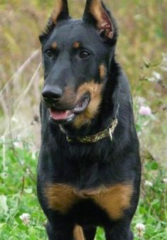 Classie Ellita de Nanrox the Beauceron standing outside with his mouth open