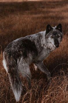 Rain,in wolf form Beautiful Wolves, Most Beautiful Animals, Majestic Animals, Beautiful Creatures, Wolf Photos, Wolf Pictures, Wolf Spirit, My Spirit Animal, Animal Espiritual
