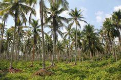 Hamparan kebun kelapa di Desa Sungai Empat, salah satu Desa Tua yang ada di Indragiri Hilir