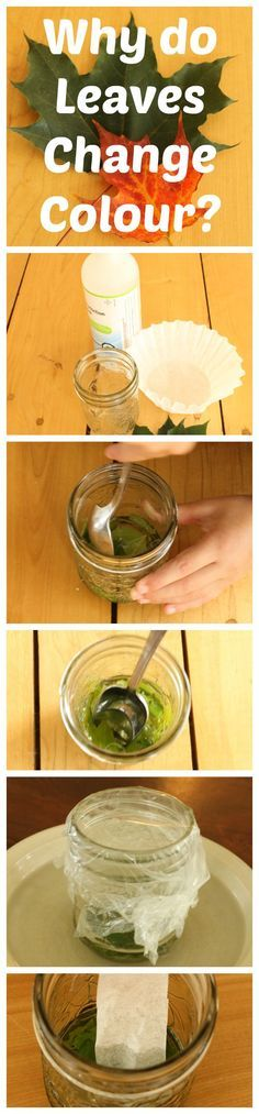 A simple science experiment to show why leaves change color in the fall. One of 5 Awesome science experiments for kids! You probably already have everything you need.