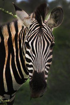 Africa Safari - Zebra [up close & personal] Safari Animals, Animals And Pets, Cute Animals, African Animals, African Safari, Zebras, Beautiful Creatures, Animals Beautiful, Zebra Art