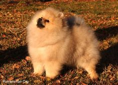 Pros and Cons of a Pomeranian as a Pet. What You Should Know Before Getting a Pomeranian Puppy. Getting a pomeranian puppy facts Pomeranian Mix Puppies, Siberian Husky Puppies, Black Lab Puppies, Husky Puppy, Siberian Huskies, Corgi Puppies, Equine Photography, Animal Photography, Puppy Facts