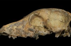 History of Domesticated Dogs Traced to Single Event, Probably in East Asia