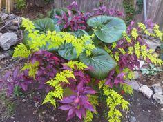Jasmine Frojas is magic! So is Ligularia gigantea.
