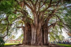 Árbol Tule, de origen mexicano, se dice que para cubrir todo el diámetro de su tronco se necesitan 25-30 personas. El peso promedio de estos árboles para dimensionar su inmenso tamaño, es de casi 600 toneladas.