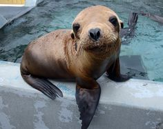 Seabees is a one-year old sea lion that was suffering from malnutrition, dehydration, and pneumonia when he was rescued in May. by Ingrid Overgard © The Marine Mammal Center.