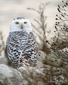 The coloring on this owl reminds me a lot of my Appenzellar chicken, Filly. Beautiful Owl, Animals Beautiful, Cute Animals, Owl Bird, Pet Birds, Nocturne, Owl Who, Owl Pictures, Mystery