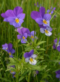 Stemorsblomst (Viola tricolor)