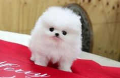 Can't get cuter than this! tea cup pomeranian