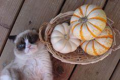 Grumpy cat hates pumpkins.