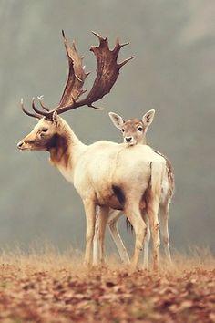 Fallow Deer<3 We used to have an Albino Fallow buck, but somebody bought it. (We raise fallow deer)