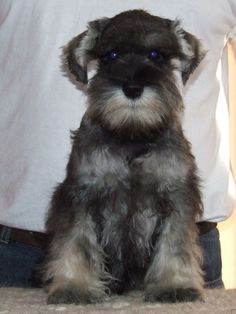 The Miniature Schnauzer originated in Germany inside the mid to late l9th century, and was kept on farms for ratting.