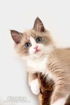 Ragdoll Kitten Cinder - what a beautiful cat