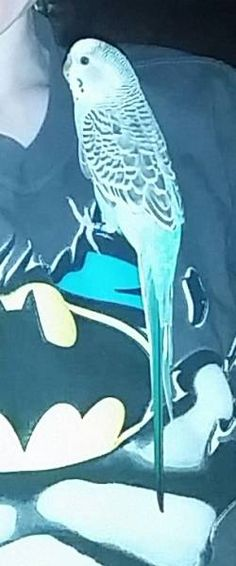 LOST PARAKEET: 10/14/2017 - Stoughton, Sharon, Massachusetts, MA, United States. Ref#: L37808 - #CritterAlert #LostPet #LostBird #LostParrot #MissingBird #MissingParrot #LostParakeet #MissingParakeet