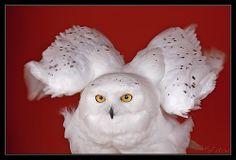 Mussol nival - Buho nival - Snowy Owl