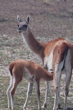 GUANACO, a cousin of the llama and relative of the camel. Live in Patagonia - and other South American places. The baby is a chulenga. Large Animals, Animals And Pets, Baby Animals, Cute Animals, Unusual Animals, Most Beautiful Animals, Beautiful Creatures, Alpacas, Primates