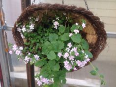 Wire basket flattened and hung on its side filled with lophdespermum, double pink Bacopa Wire Baskets, Hanging Baskets, Grapevine Wreath, Grape Vines, Wreaths, Pink, Home Decor, Fall Hanging Baskets, Decoration Home