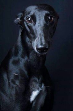 Beautiful greyhound
