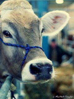 I love cows! (PA Farm Show 2012)