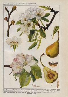 Schmeils Naturwissenschaftliches Unterrichtswerk / Birnbaum und Apfelbaum