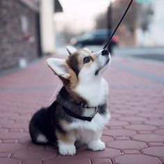 20 of the cutest hybrid dog breeds that . - 20 of the cutest hybrid dog breeds that got the best of two worlds – Ritely – animals – - Cute Corgi Puppy, Cute Dogs And Puppies, Corgi Funny, Funny Dogs, Baby Corgi, Pomeranian Puppy, Lab Puppies, Corgi Dog Breed, Corgi Mix Breeds