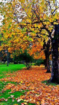 Autumn Summer, I Fall, Evergreen Park, Golden Tree, Autumn Scenery, Paradise On Earth, Winter Springs, Fall Photos, Autumn Leaves