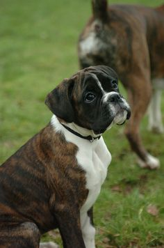 """""""If I give you the puppy-dog eyes, will you take me for a walk?"""" (boxer) aw me recuerda a mi nikita linda :( Boxer Bulldog, Boxer Puppies, Cute Puppies, Cute Dogs, Dogs And Puppies, Doggies, Boxer Love, Boxer And Baby, Baby Dogs"""