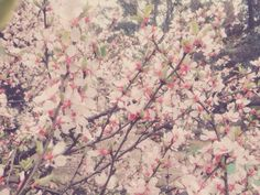 Spring Blossom of Jeju