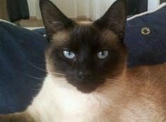 My precious Jack. Siamese.