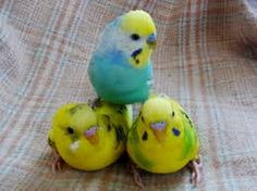 Parakeets For Sale In Pa Cute Birds, Pretty Birds, Beautiful Birds, Parakeets, Cockatiel, Animals And Pets, Funny Animals, Cute Animals, Parrots