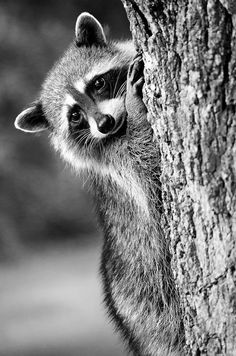 Oh hi, little guy! | Raccoon Canada Wildlife Nature Photography Print