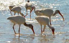 aBirds of Sanibel Island -Ibises