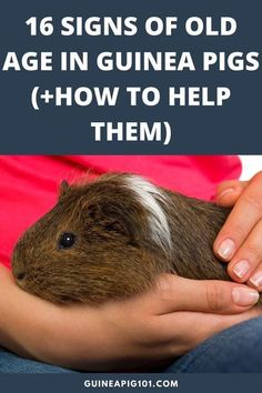 Pet Guinea Pigs, Guinea Pig Care, Guinea Pig Information, Guinnea Pig, Pig Facts, Pet Rodents, Signs Of Stress, All About Animals, Old Age