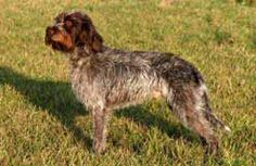Canadian Kennel Club | Club Canin Canadien Wirehaired Pointing Griffon, German Wirehaired Pointer, Puppy List, Choosing A Dog, Puppies, Dogs, Animals, Club, Google Search
