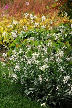 Gaura - How to Grow the Charming Wand Flower