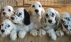 English Setters pups.R. Scott.