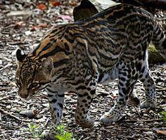 A jaguatirica é um animal solitário . Costuma caçar à noite e , como os outros felinos , caça fazendo emboscada ,  caminhando lentamente em  meio à vegetação , sentando-se e expreitando a presa .
