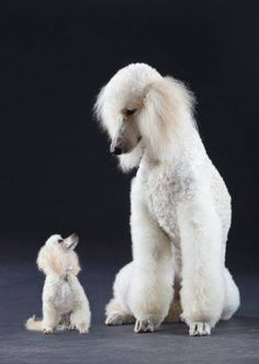 size comparison of adult Toy Poodle and Standard Poodle; Miniature Poodles are a size in between these two. Cute Puppies, Cute Dogs, Dogs And Puppies, Poodle Puppies, Doggies, Toy Dogs, Dog Behavior, Training Your Dog, Dog Friends