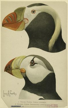 Tufted Puffin and Horned Puffin by Louis Agassiz Fuertes ). Taken from 'Harriman Alaska Expedition', (New York - Doubleday). Image and text courtesy NYPL Digital Gallery. Science Illustration, Nature Illustration, Puffins Bird, Historia Natural, Street Art, John James Audubon, Ceramic Birds, Vintage Birds, Sea Birds